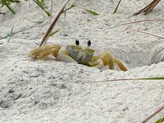 virginia 2008 254 (francevalle) Tags: sand crab