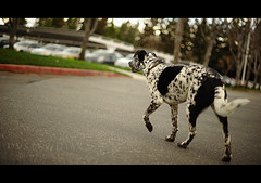 Day Forty Three (Dustin Diaz) Tags: dog 50mm google nikon bokeh 365 sparky thursday googleplex featured project365 50mmf14g dustindiazcom d700