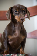 confident (Heidi Knight) Tags: miniaturedachshund chocolateandtan