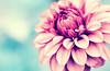 secret admirer.. (Lee_Bryan) Tags: dahlia christchurch bokeh botanicgarden 100mmf28usmmacro