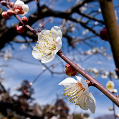 Plum of the fine day (hiro7261) Tags: flower nature japan ilovenature nikond50 plumblossoms sigma20mmf18exdgasphericalrf alr14