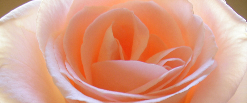 Study 1: Peach Rose