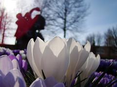The Sun is Shining (blaat70) Tags: flowers blue sky macro green nature insect groen natuur insects makro hommel ari bloemen molen bij weiland krokus zonnebloem soest madelief papatya akker krokussen blaat70 krokussus