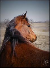 Arabian (alamea_lio) Tags: alexis new horses horse photoshop portraits photography chocolate edited annie kristine equine fazio cajaun