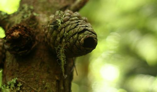 Pine cone - New Zealand