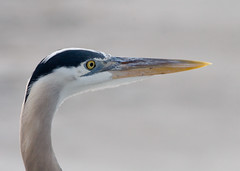 GBH Closeup (Phil Armishaw) Tags: blue wild copyright heron birds key phil florida great longboat sarasota 2009 gbh armishaw