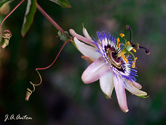 Passiflora Edulis (JAAnton) Tags: macro flor pasion flickrsbest olympuse510 excellentsflowers vosplusbellesphotos myspacecfj