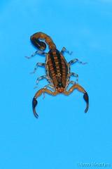 Scorpion (Uroplectes formosus formosus)