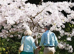 Couple by cherry trees
