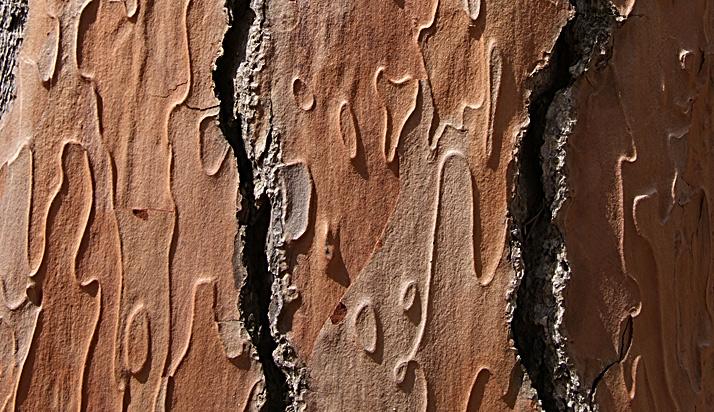 pijnboom 2D