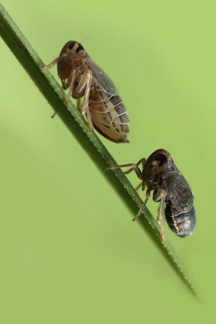 Delphacid Planthoppers (Muirodelphax atralabis)