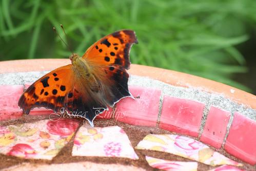 butterfly 3web