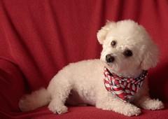 Ripley in morning Light (scottnj) Tags: red dog white puppy colorful fluffy ripley explore bichon bichonfrise doggy pup bandana iluvmydog explored puppycut scottnj ripleyinmorninglight