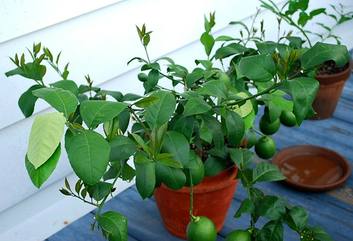Lemon Tree Growth 2