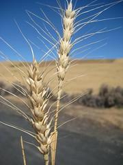 Barley?