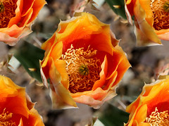 Simply Irresistable (oybay) Tags: arizona cactus flores flower macro fleur flora bokeh blumen fiori pricklypear desertflower cactusflower