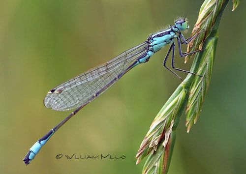 Blue Damselfly at Rest