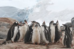 Bunch of penguins (chris.bryant) Tags: snow cold ice nature birds penguins rocks antarctica waddle potofgold wildbirds naturesfinest gentoopenguins platinumphoto aplusphoto flickraward diamondclassphotographer flickrdiamond concordians platinumheartaward theperfectphotographer worldtrekker qualitypixels artofimages saariysqualitypictures worldwidetravelogue expressyourselfaward platinumbestshot platinumpeaceaward waddleofpenguins