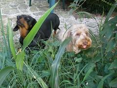 dog chien frank hound canine dachshund perro hund wienerdog dackel teckel k9 jimmydean doxie sausagedog aplaceforportraits pointyfaceddog