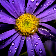 ~ Liquid Sunshine ~ (ViaMoi) Tags: blue ontario canada flower color colour macro nature water beautiful closeup canon photo vibrant naturalist 40d canon40d naturewatcher viamoi saariysqualitypictures