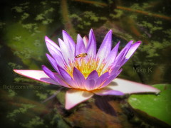Purple water lilly and bee (Mike G. K.) Tags: lake flower purple bee lilly waterlilly mikegk:gettyimages=submitted