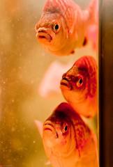 Are You Lookin' At Me (julesnene) Tags: california beautiful look aquarium eyes marine colorful montereybayaquarium formation ichthyology stare trio triplets fishes behavior curiosity orangefish areyoulookinatme underwatercreatures threefishes juliasumangil julesene imnoichthyologist