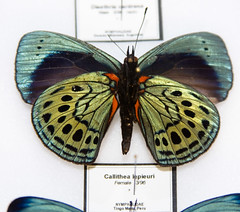 CD481 Callithea lepieuri (listentoreason) Tags: usa color green nature animal closeup america canon butterfly insect newjersey unitedstates favorites places lepidoptera animalia arthropoda invertebrate arthropod tomsriver insecta nymphalidae pterygota papilionoidea neoptera endopterygota score35 ef28135mmf3556isusm ditrysia rhopalocera lepidopteran bugmuseum brushfootedbutterfly callithea insectropolis truebutterfly bugseum fourfootedbutterfly