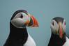 Puffins, Ingolfshöfði, Iceland (Xindaan) Tags: portrait bird eye birds animal closeup geotagged outdoors island iceland islandia nikon dof bokeh head wildlife clown 14 sigma depthoffield east puffin 28 70200 2009 lundi ísland tier vogel islande isl macareux 70200mm islanda d300 naturesfinest atlanticpuffin fraterculaarctica papageitaucher 14x 7020028 papageientaucher supershot hsm 280mm specanimal ingolfshofdi specialpicture platinumphoto anawesomeshot impressedbeauty flickrdiamond theunforgettablepictures ingolfshöfdi 70200mmf28exdg naturethroughthelens 14converter vosplusbellesphotos ingolfshöfði bestofmywinners magicunicornverybest knappavellir newgoldenseal geo:lat=6380136652 geo:lon=1663768568 elfrailecillo dateposted942009065500 dateposted1252040100