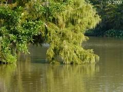 Cypress Overhanging Bayou Courtableau (Image Hunter 1) Tags: nature louisiana bayou swamp cypress bayoucourtableau