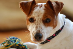 Beautiful Belle (JRT ) Tags: dog reflection beautiful fur jack nose eyes nikon jrt russell sunny ears rope terrier belle collar jackrussellterrier snout d90 thegalaxy brownhead johnwarwood flickrjrt