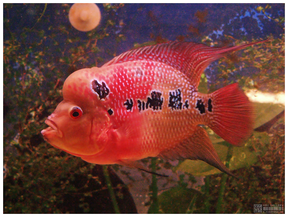 The World's newest photos of cichlid and flowerhorn - Flickr