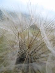inside the blowball (freshNfunky) Tags: macro fur depthoffield hairs blowball