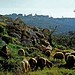 Sheep graze in fields around Bethlehem (© Custodia Terrae Sanctae)
