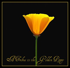 California Golden Poppy - D2X-4-29-10_DSC7160_41048 (Cap001 - Dan) Tags: california californiapoppy stateflower californiapoppies goldenpoppy californiastateflower 100commentgroup atributetothegoldenpoppy