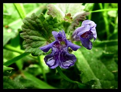 Ground Ivy - Glechoma hederacea (janner2011) Tags: glechomahederacea gillovertheground groundivy creepingcharlie alehoof catsfoot fieldbalm runawayjack robinrunthehedge haymaids hedgemaids runawayrobin tunhoof gillgobytheground