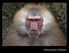 Hamadryas Baboon - Singapore Zoo (Souvik_Prometure) Tags: zoo singapore wildlife baboon hamadryasbaboon singaporezoo hamadryas souvikbhattacharya