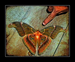 Atlas Moth - Attacus atlas