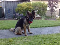 dogs bella twitter365