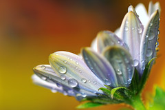 Flower and drops
