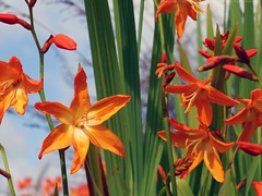 CROCOSMIA x crocosmiiflora 'Star of the East'