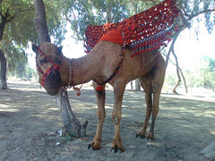 A Camel near Chenab River (Zeeshan Nasir ..) Tags: pakistan camel punjab lahore multan muzaffargarh