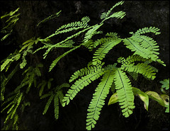 Bagby Ferns (mnt_goat_76) Tags: copyright plants green nature oregon forest ilovenature waterfall woods northwest steve rollins lush ferns bagby hotsprings mntgoat76