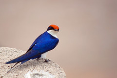 Wire-tailed Swallow (Hirundo smithii) (Arno Meintjes Wildlife) Tags: africa wallpaper bird nature southafrica wildlife safari krugernationalpark birdwatcher naturesfinest wiretailedswallow parkstock hirundosmithii anawesomeshot avianexcellence arnomeintjes vosplusbellesphotos distinguishedbirds