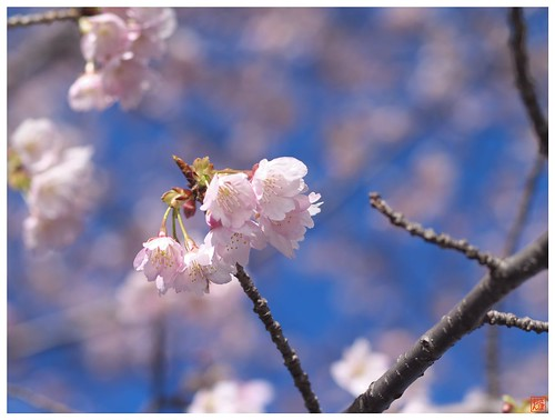 Cherry blossoms 090316 #02