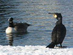 Hello...stranger (suvodeb) Tags: winter england white lake snow canada black water birds contrast kent britain expression wildlife gulls bluewater goose single difference lone curious aquatic singular wintry baffled februarysnow