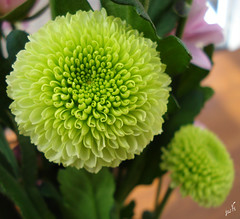 ChrisAndTheMum! ;p (Jus'fi) Tags: flowers green mum chrysanthemum mothersday jusfi simplythebest~flowers