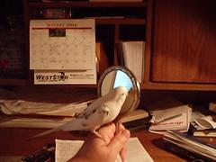 Birdy1-10 006 (Jewgirl952) Tags: memorial budgie parakeet