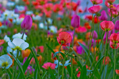 The Promise Of Spring (julesnene) Tags: california flowers canon garden eos spring sanluisobispo madonnainn californiapoppies vacationtravel 50d tuiips julesene