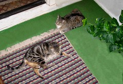 Paul and Beck, wanting to go outside (Hairlover) Tags: pet cats pets public cat kitten kitty kittens kitties catloaf kittyloaf threeleggedcat 20yearoldcat hairlover allcatsnopeople