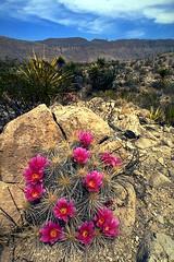 Pitaya Cactus blooms